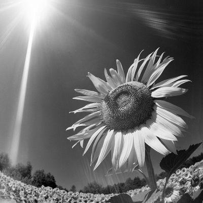 girasole bianco_nero